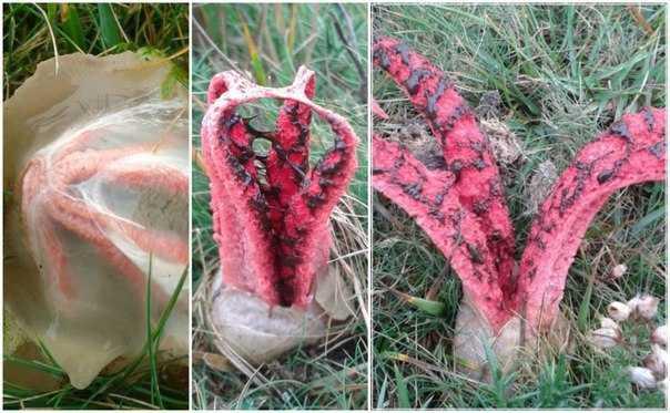 гриб пальцы дьявола съедобен